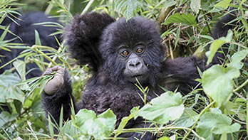 8 Day Gorilla  and Big game Safari-Jul 2020