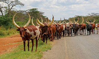 The Long Horned Ankole Cow